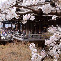 清水寺 桜